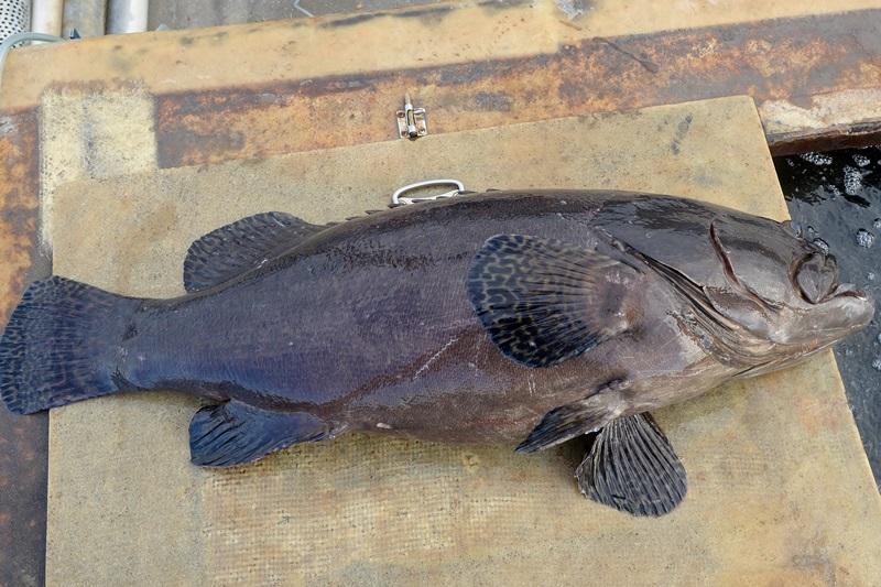 南台湾的养殖海味!石斑之王—龙胆石斑