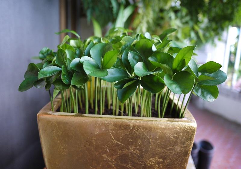 【绿手指】吃完柚子,留下种籽种出好看盆栽!