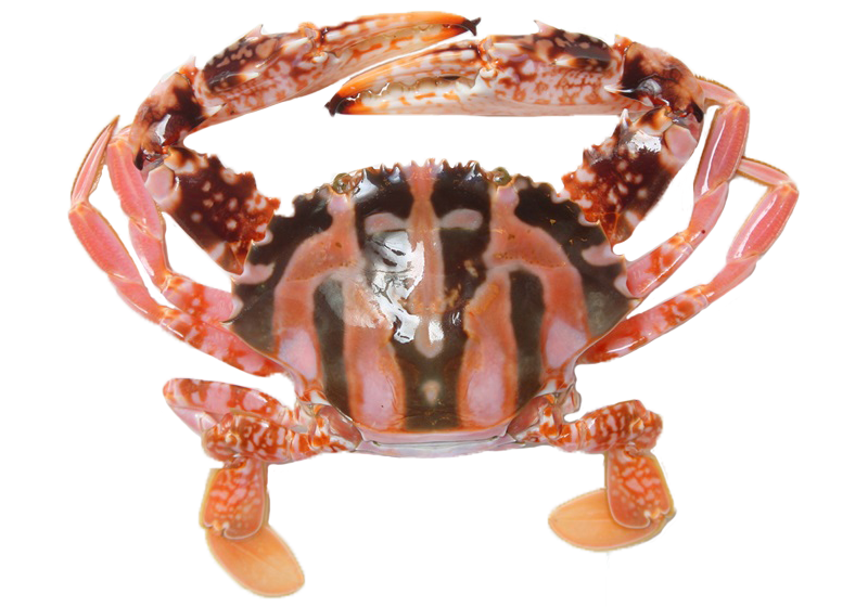 【图解】秋天螃蟹品种多,花蟹、红蟳、沙公谁是谁?