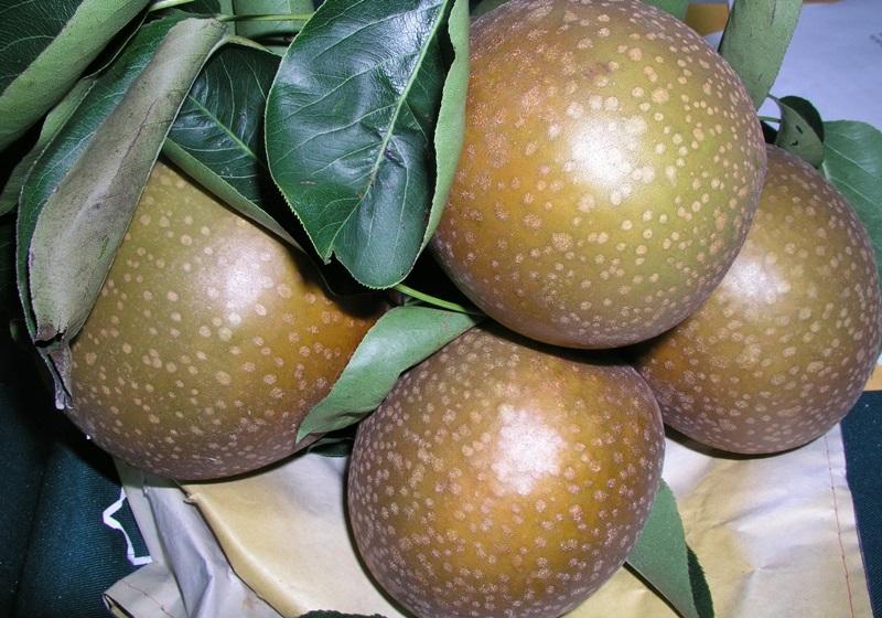丰水梨、新兴梨、三星上将梨?台湾常见