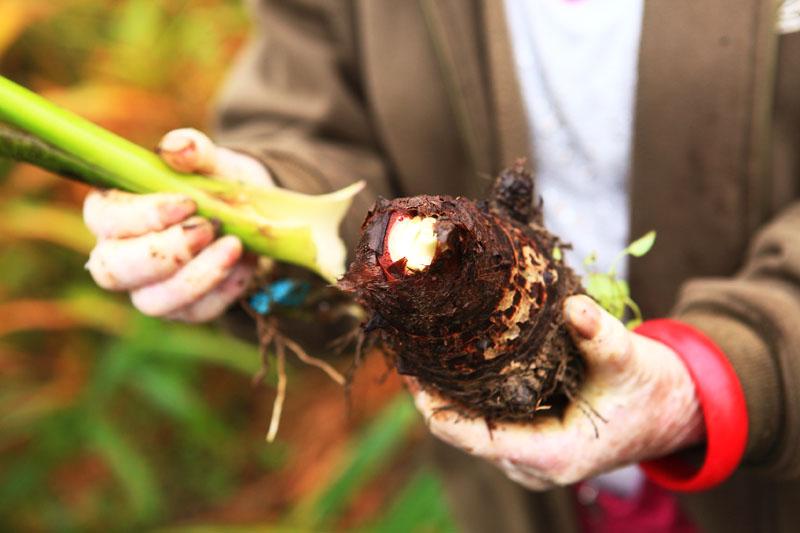 【在地食材】甲仙芋茎~客家香Q好味道!